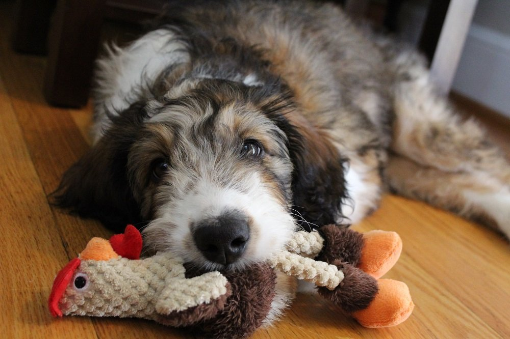 Bringing Home Your Bernedoodle: The First Few Days