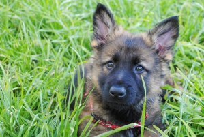 German Shepherd Puppy first day home