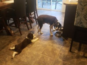 English springer spaniel dog food