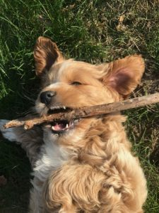 Cockapoo with stick