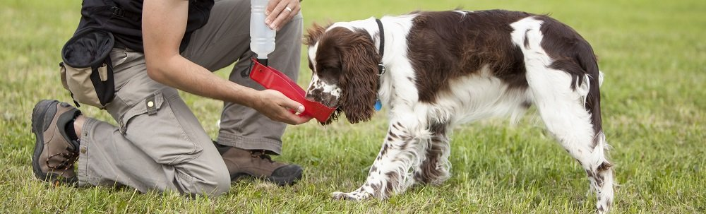 Nutrition for English Springer Spaniels – Feeding your ESS Properly