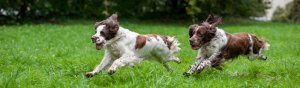 Two English Springer Spaniels Running on Command