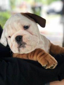 English bulldog staring