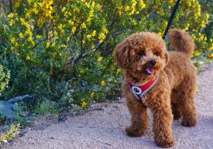How to find a good family poodle