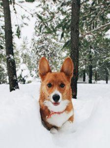 Welsh corgi snow