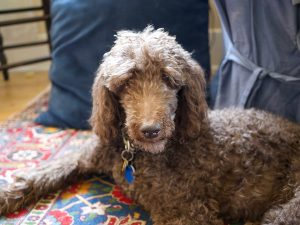 poodle adopted from a shelter