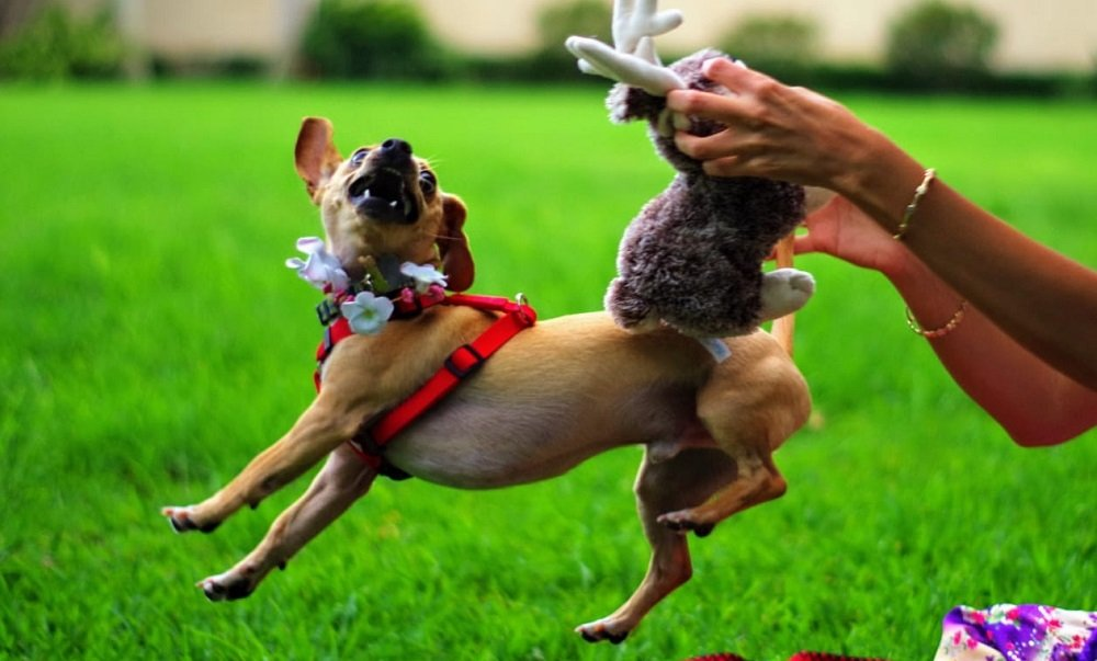 Bad Habits and Basic Commands – Being a Chiweenie Parent