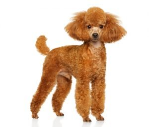 Miniature Poodle Example