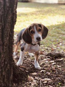 Beagle tree