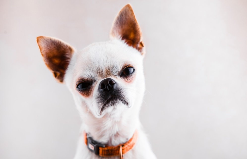 Fearless, Mischievous Sidekicks – Defining the Chihuahua