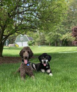 Poodle in park