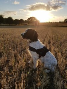 English springer spaniel sunset