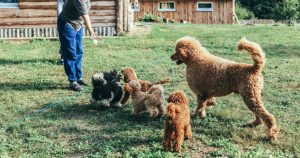 Picking a poodle from a breeder