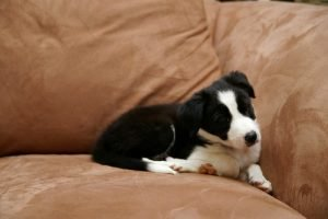 Border collie couch