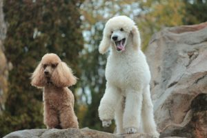 Poodle standing