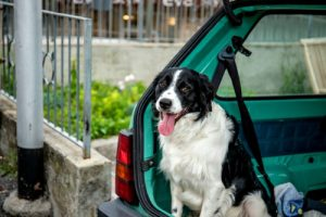 Border Collie going down from car