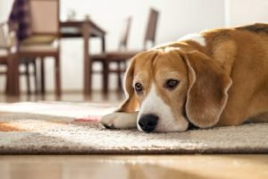 Beagle lying on carpet