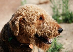 Airedale terrier smiling