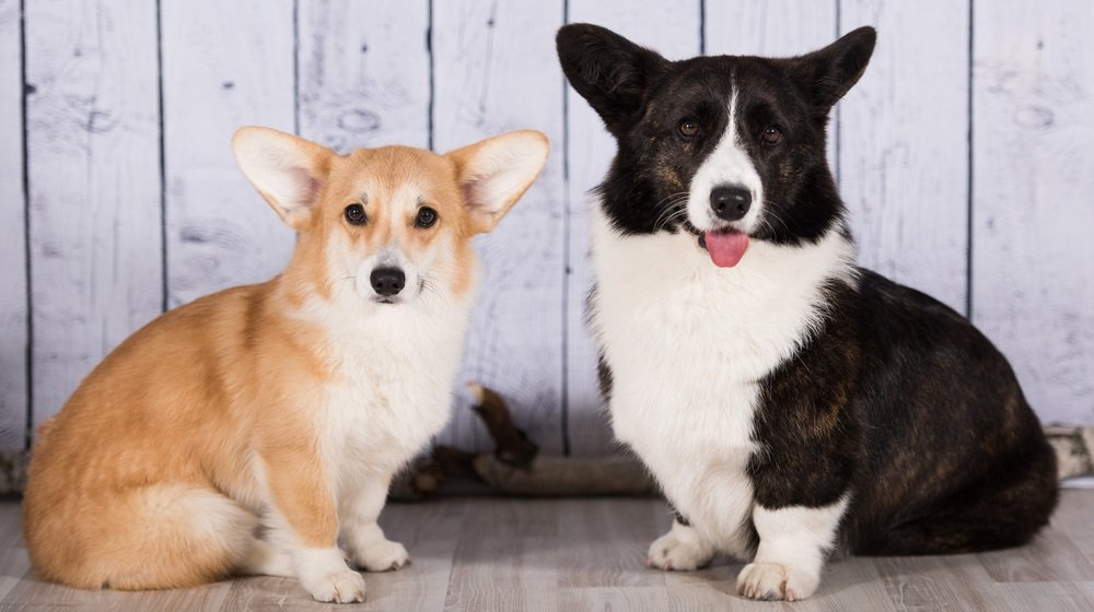 Pembroke vs. Cardigan – Spotting the Similarities and Differences in the two Corgi Breeds
