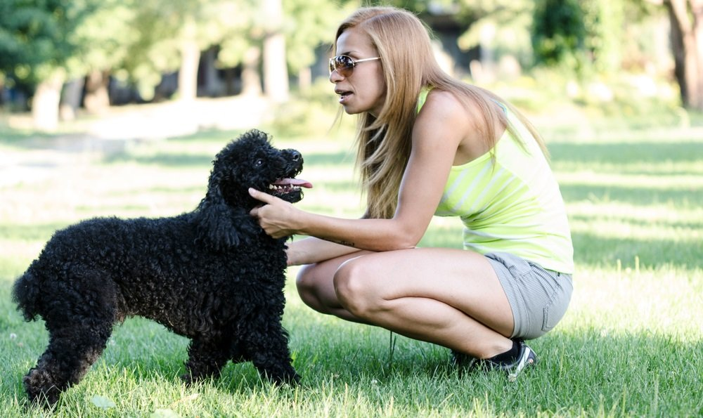 How To Teach Your Poodle Seven Common Training Commands