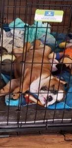 English bulldog cage
