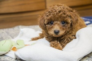 Toy Poodle First Night at Home