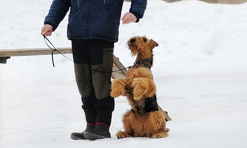 Training an Airedale Terrier – Insights from an Experienced Owner