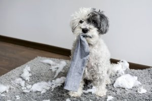 poodle chewing mess
