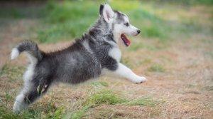 bringin home a husky puppy