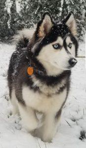 Siberian husky snow