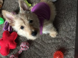 Scottish Terrier in clothes