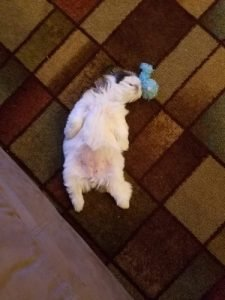 Shih tzu sleeping position
