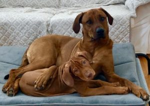 Rhodesian Ridgeback bedroom