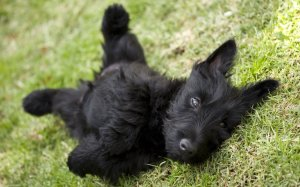 Scottish Terrier lying on it's back in the grass