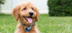 Goldendoodle in the lawn at home