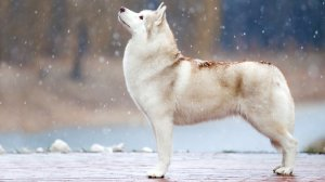 a beautifully groomed husky standing in the snow