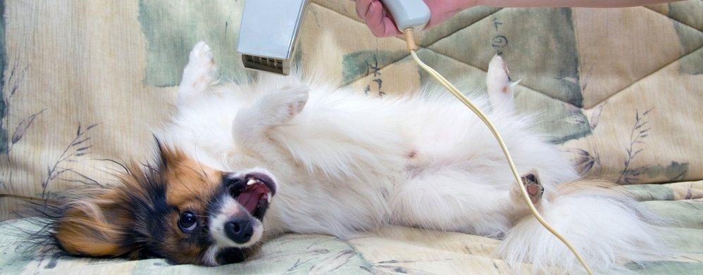 Grooming your Papillon – Basics on Coat, Nail, and Teeth Care for your Papillon dog