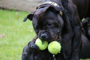 Staffordshire Bull Terrier tennis balls