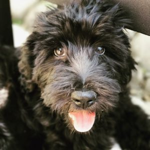 Goldendoodle toy