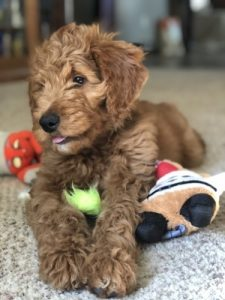 Goldendoodle playing toys