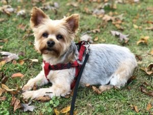 Yorkshire terrier on lease