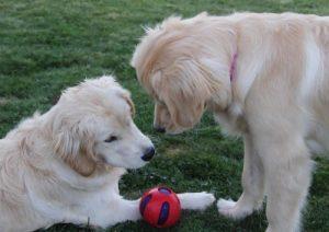 Golden Retriever dam and pup