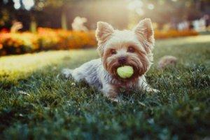 yorkie biting a ball