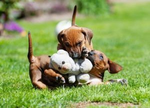 Rhodesian ridgeback playing outdor