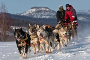 Siberian husky running pack
