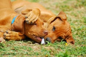 Rhodesian Ridgeback playing
