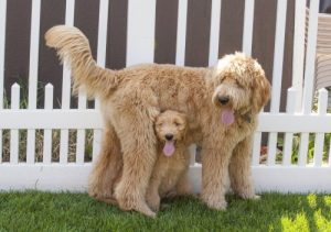Goldendoodle dam and pup