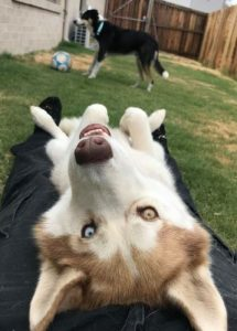Siberian Husky lying down