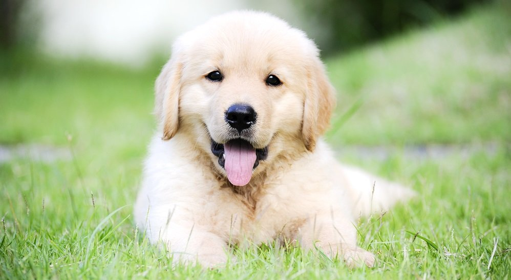 Preparing your Home for your new Golden Retriever