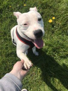 Staffordshire Bull Terrier shake hands